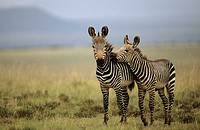 Mountain Zebras (Equus z. zebra). South Africa. IUCN Endangered. Almost exclusively grazers. Forms harems of several mothers accompanied by their late...