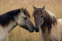 Konik Ponies-Norfolk Broads National Park-Norfolk-England- Breed originated in ancient lowland farm areas in Poland- Konik means small horse in Polish...