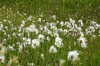 Common Cotton Grass, Eriophorum angustifolium, growing on damp meadow land, Norfolk, UK, June
