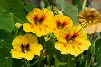 Nasturtiums in full flower in a summer border, Norfolk, UK, June