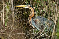 Purple Heron (Ardea purpurea), marsh with reed and willows (Salix), camouflage, flood-plain forest, near river Bojana, Montenegro (Crna Gora), river B...