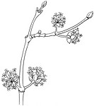 MALE DOGWOOD, DRAWING<BR>Male cornelian cherry dogwood leaves (Cornus mas).