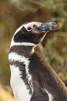 Magellanic Penguin (Spheniscus magellanicus) in Patagonia