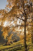 Tree on a landscape, Santa Maddalena, Val di Funes, Dolomites, Trentino-Alto Adige, Italy