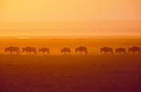AFRICA, Kenya, Masai Mara Wildebeest Migration