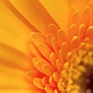 Close-up of a gerbera