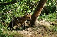 Red Fox  (Vulpes fulva), checks out the scene outside his den, Pennsylvania (USA)