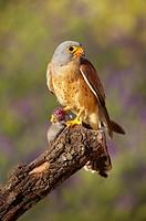 Lesser Kestrel (Falco naumanni), male with prey (field mouse), Andalucia, Spain