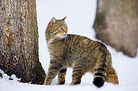 Felis silvestris, Common Wild Cat, winter, snow