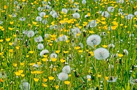 Close up of a meadow in spring. Bavaria, Germany, Europe.