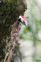 Lesser spotted Woodpecker or Middle spotted Woodpecker (Dendrocopus medius), looking out of its nesting hole in an old appletree, Erlangen, Germany