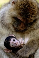 Barbary Macaque with Baby (Macaca sylvana)