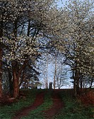 Cherry-trees in blossom, Ostergotland, Sweden