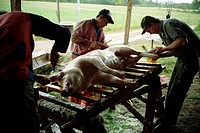 Butchers working on a pig, Sweden