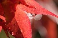 Water droplets on a maple leaf