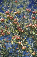 Apples on an branch