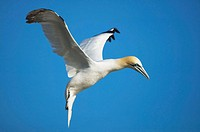 A Gannet (Morus capensis) ready to land