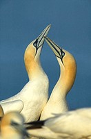 Gannets (Morus capensis)