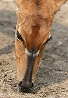 Portrait of a antelopes face.