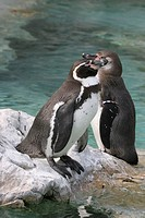 Side view of two penguins resting on the rock near the river.