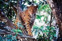 Jaguar (Panthera onca). Mexico