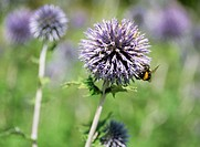 Bee on a globe thistle