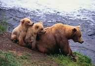 Brown Bear and Cubs