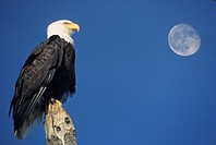 A Bald Eagle (Haliaeetus leucocephalus) perched on a  stump with the moon in the background.