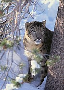 Snow Leopard Sitting Under Tree