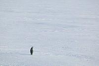 Solitary Emperor Penguin