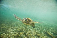 Green Sea Turtle Swimming in Shallow Water
