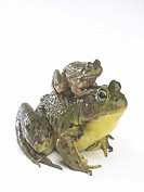 Frog sitting on the back of another frog