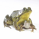 Close-up of two frogs