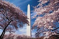 Cherry Trees in Bloom and the Washington Monument