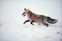 Fox Running in the Snow
