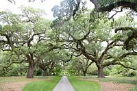 Path through rows of oaks (Quercus sp.)