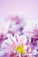 Pink dahlia flowers against white background, close-up