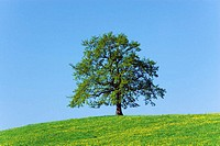 Oak tree on grassy hill, against clear blue sky