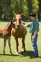 Young man feeding American Quarter horses, colt and mare, outdoors