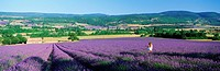 Woman in field of lavender near Villars in Provence  France