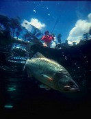 Underwater view of bass with fisherman above water