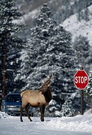 Bull American elk (Cervus elaphus) standing next to STOP sign on snowy road, Rocky Mtn Nat´l Park, CO