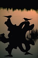 Silhouette of Artia terns sitting on log.  Sterna paradisnea.