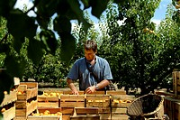 Young man arranging peaches in wooden crates, Provence, France