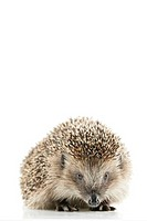 European hedgehog, Erinaceus europaeus,    Animal, mammal, thorn hedgehogs, thorn animal, insectivores, night-actively, concept spiky protection, Schu...