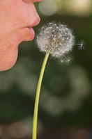 Woman making a wish on dandelion thistle