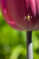 Small garden spider hiding under a tulip flower
