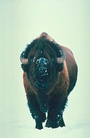 Portrait of a Bison bellowing while standing in the winter snow of Yellowstone National Park, Wyoming.