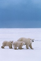 Three polar bears walking in the snow.