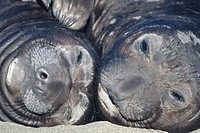 Close up of the faces of two Northern Elephant Seals (Mirounga angustriostris) at the rookery at Point Piedras Blancas, CA.